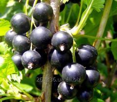 Blackcurrant saplings Kozatskaya