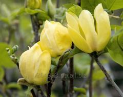 """Magnolia Brooklyn """"Yellow Bird"""""""