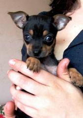 Puppies of the toy terrier with the documents