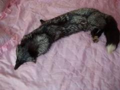 Skin of the silver fox. Skin of the silver fox