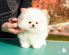 Exclusive puppies of a Pomeranian spitz-dog of a
