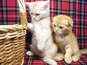 Lop-eared kittens