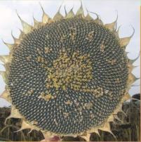 Gave seeds of sunflower