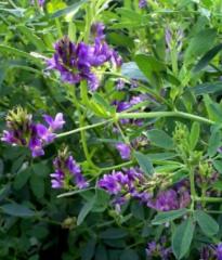 Lucerne seeds, Ukraine