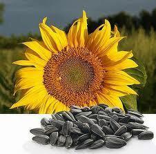 Семена подсолнечника гибрид Селянин