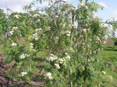 "Рябина ""Плакучая"" (Sorbus aucuparia"