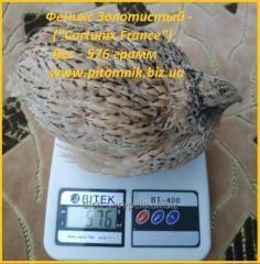 Яйца инкубационное перепела Золотистый Феникс -