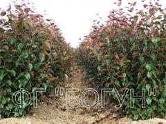 Stock for apple-tree 54-118