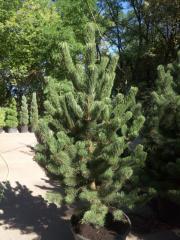 Pine black Oregon Green (Pinus nigra Oregon Green)