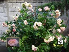 Плетистые (вьющиеся) розы Цезарь