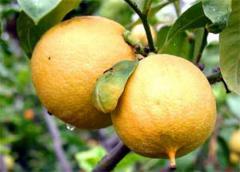 Bergamot - fragrance food concentrated.