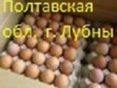 Eggs incubatory KOBB 500 broiler