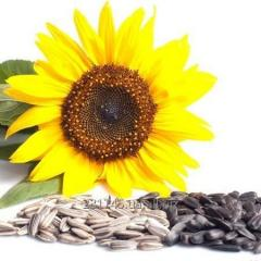 Confectionery sunflower GOURMAND 4, 0