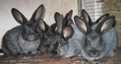 Кролики серебристые, продажа кроликов от
