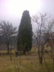 Pinus cembra L. 13-14м.