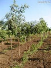 Saplings of decorative trees