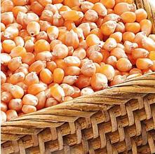 Семена  Кукурузы Сорта: Шаланда МВ, Одесский 385