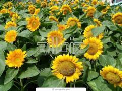 Sunflower cake for expor
