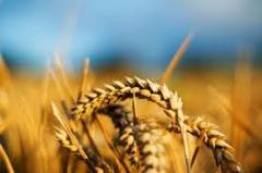 Пшеница, Херсонская область.