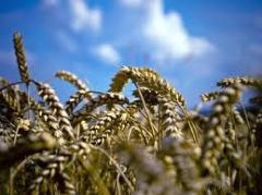 Пшеница от производителя, Херсонская область.