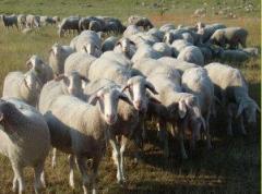 Овцы племенные, Немецкая овца Мериноланд
