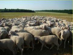 Немецкая Мериноланд овца, овцы племенные, овцы