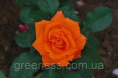 Роза Миракли