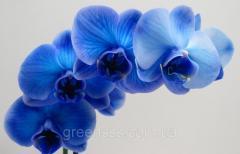 Орхидея фаленопсис Blue 12-60