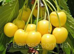 Drogan's sweet cherry yellow