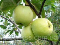 Antonovk's apple-tree