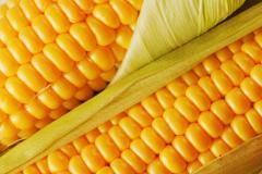 Adevey (Adevey) Kukurudza. FAO 290.
