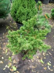 Banks Banks Styavnits's (Pinus banksiana