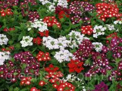 Flower Verbena