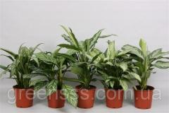 Аглаонема микс -- Aglaonema mixed  P17/H50