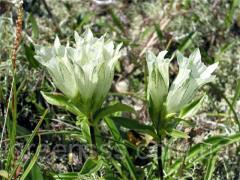 Горечавка белая (Gentiana alba)