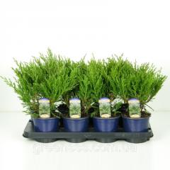 Seeds of laur