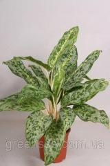 Аглаонема Peacock -- Aglaonema Peacock  P17/H55