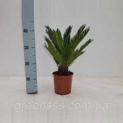 Пальма цикас Революта -- Cycas Revoluta  P15/H60