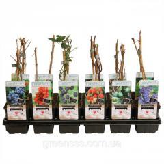 Плодово-ягодные деревья и кустарники -- Fruitbomen