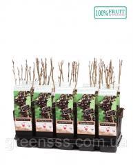 Смородина чёрная -- Ribes nigrum  P15/H65
