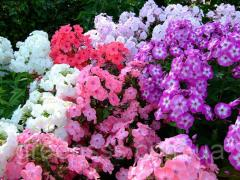 The phlox is panicled