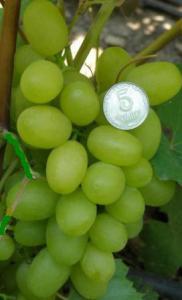 Виноград.Саженцы винограда.Сорт винограда