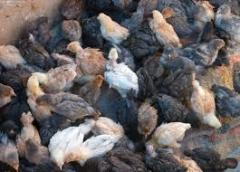 Young growth of hens of egg and meat breed Space