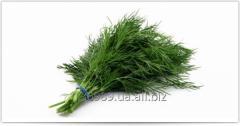 Fennel green fresh