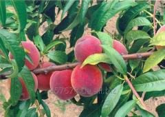 Саженцы персика Алиросада/Alirosada