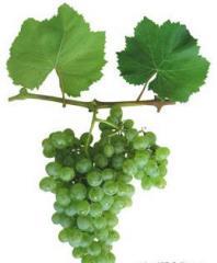 """Саженцы винограда винных сортов """"Аврора"""