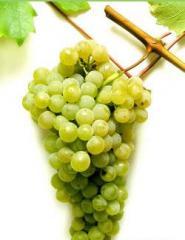 Саженцы винограда винных сортов
