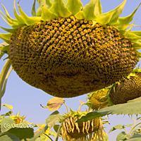 Sunflower grade FARMER