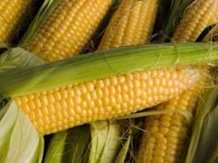 Гибрид кукурузы P9911 AQUAmax, pioneer