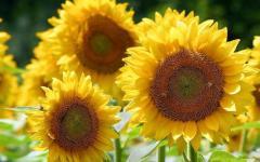 Семена подсолнечника ТОЛЕДО (под Гранстар) /Насіння соняшника ТОЛЕДО (під Гранстар)